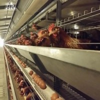 H Type Layer Chicken Equipment In Australia